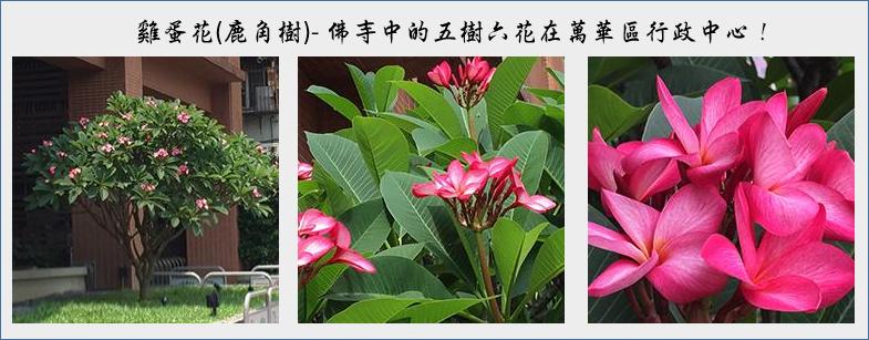 萬華區行政中心區花-雞蛋花圖片(前往區花介紹)